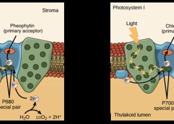 Reaksi terang dan gerak fotosintesis 8