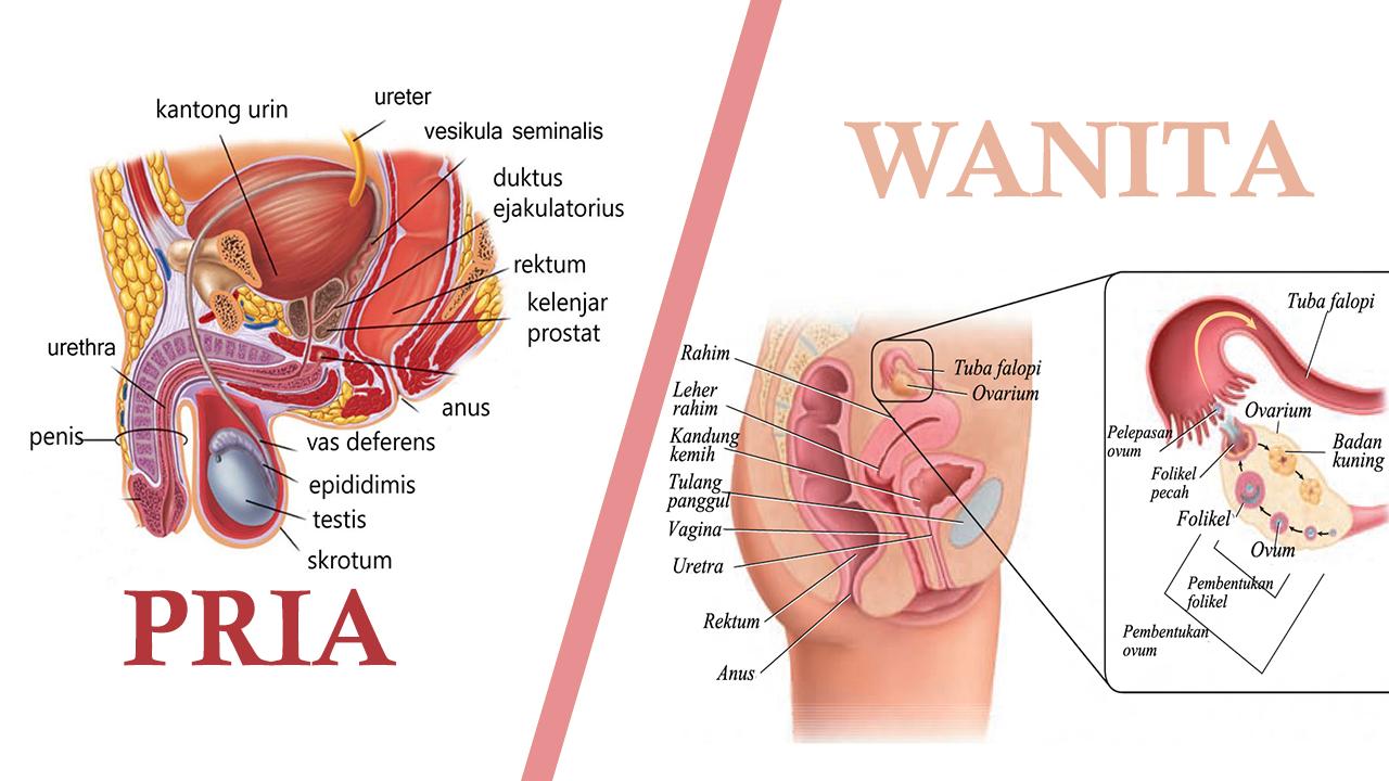 Uterus Atau Rahim Merupakan Bagian Dari Sistem Reproduksi Pada Mamalia Sebutkan Salah Satu Fungsinya Berbagai Bagian Penting