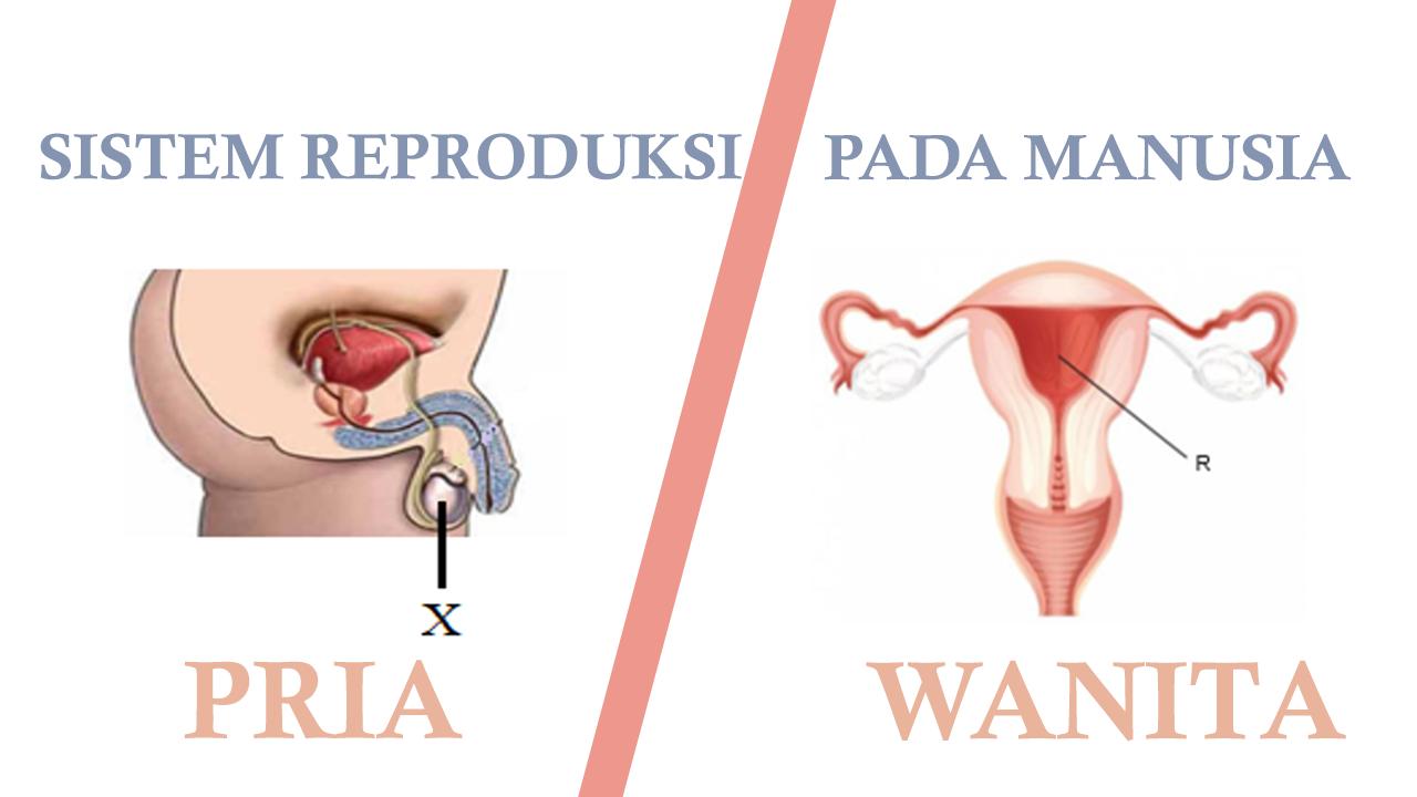 10 Soal Pilihan Ganda Tentang Sistem Reproduksi Manusia Beserta Jawabannya Materikimia