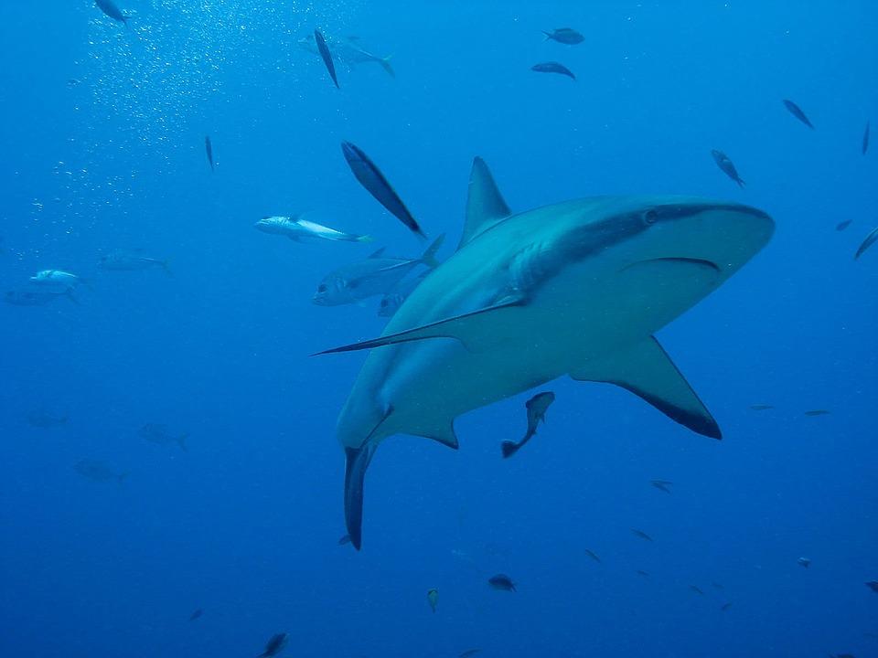 44+ Gambar Ikan Hiu Dengan Remora HD