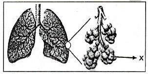 Gambar Alveolus Manusia