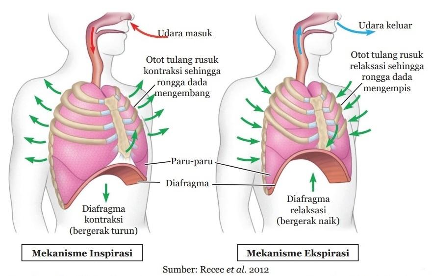Mekanisme Pernapasan Manusia Inspirasi Dan Ekspirasi Secara Singkat Materikimia