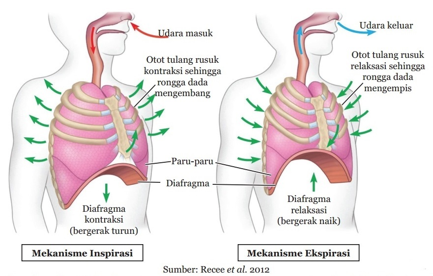 Struktur Dan Fungsi Sistem Pernapasan Manusia Berbagai Struktur