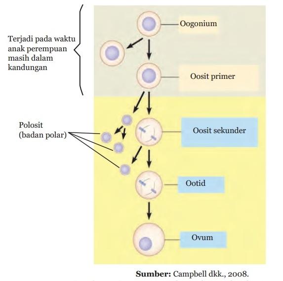 Skema Spermatogenesis Dan Oogenesis Pada Manusia Beserta Penjelasannya Materikimia