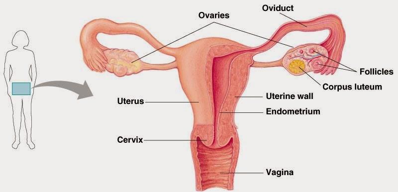 Bagian Bagian Organ Reproduksi Wanita Dan Fungsinya Berbagai Bagian Penting
