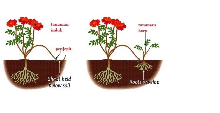 Perkembangbiakan Vegetatif Pada Tumbuhan Angiospermae Materi Kimia Part 2