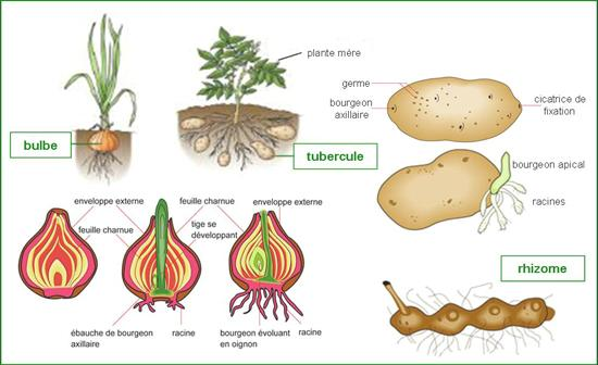 Perkembangbiakan Vegetatif Pada Tumbuhan Angiospermae Materi Kimia
