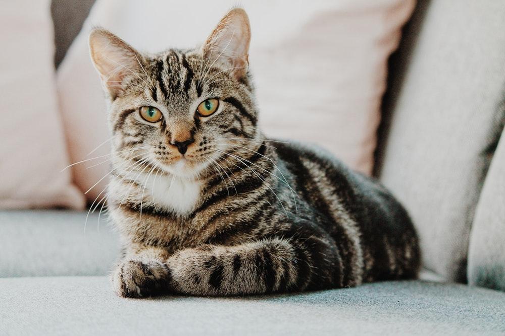 81+ Gambar Perkembangbiakan Hewan Kucing Gratis Terbaik