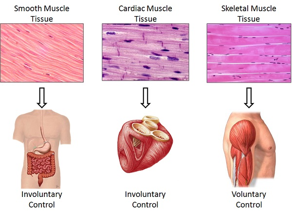 9 Perbedaan Antara Otot Polos Otot Lurik Dan Otot Jantung Dalam Bentuk Tabel Materikimia